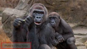 The Value of a Gorilla vs. a Human
