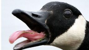 Walter, the Canada Goose