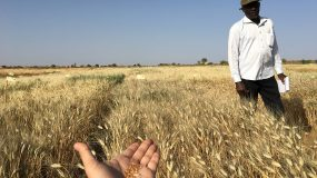 Wheat in heat: the 'crazy idea' that could combat food insecurity