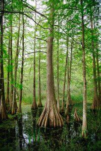 Bayou Cypress. Photo by Kyle Glenn on Unsplash