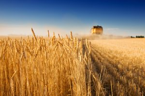 A combine harvester working in a wheat field