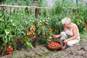 A woman harvesting tomatoes in a garden