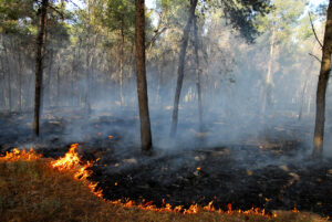 Burning forest scene caused by heat wave.
